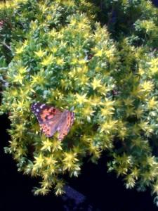butterfly_sedum
