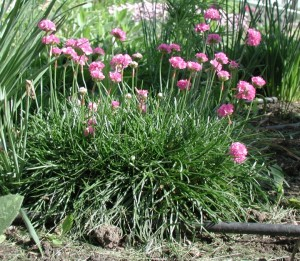 Armeria maritima