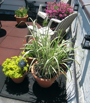 my_roof_garden_sedum_beachgrass