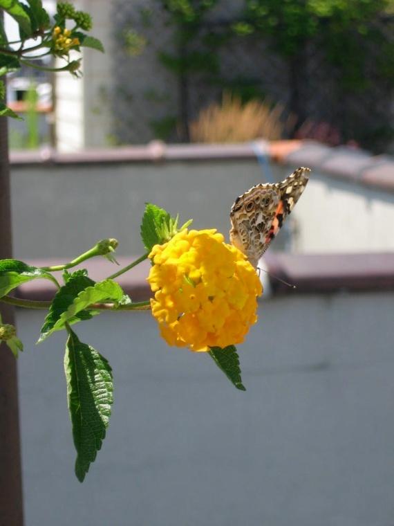 butterfly_rooofgarden_lantana.jog