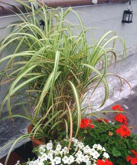 miscanthus_sinensis_cabaret_gerranium_petunia_verigated_rooftopgarden