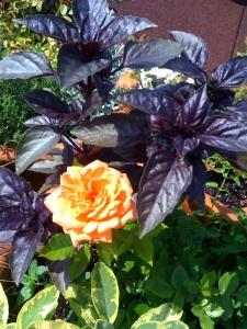 roof_garden_rose_herbs