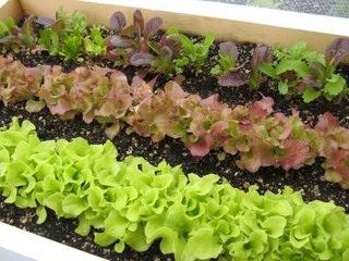 roofgarden_lettuce