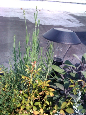 roses_lavender_rooftop_garden