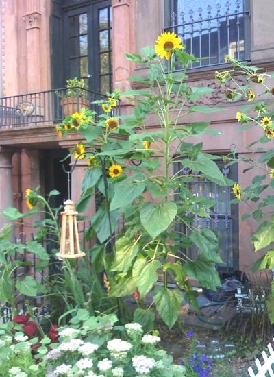 brownstone_sunflower_garden_brooklyn