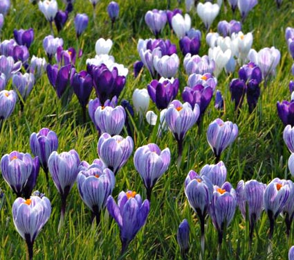 crocus_whiteflowerfarm