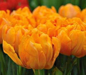 orca_tulip_whiteflowerfarm