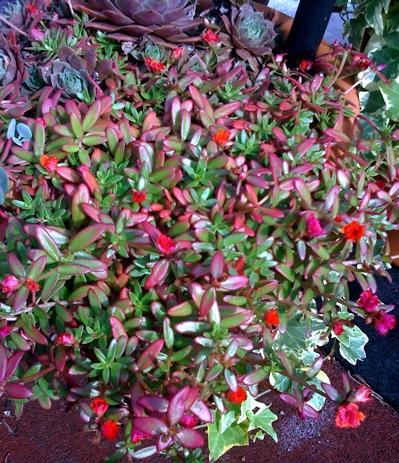 roof-garden-portulaca